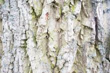 Pear Tree Bark Detail