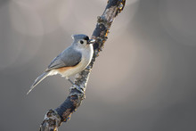 Tufted Titmouse On Branch With...
