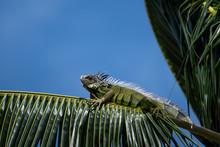 Green Iguana In Palm Tree