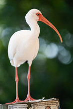 American White Ibis In The Florida Keys