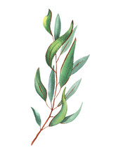 Set Of Eucalyptus Branches In ...