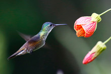 Azure-Crowned Hummingbird With...