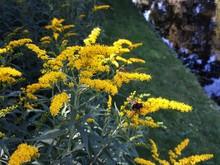 Yellow Flowers Of Solidago Nem...