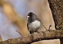Dark Eyed Junco Perched On A B...