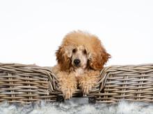 Cute Toy Poodle Puppy  Portrai...