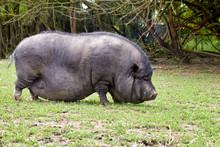 Pot-bellied Pig Walks In A Meadow