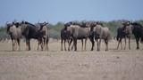 Fototapeta Sawanna - Herd of wildebeest on the savanna