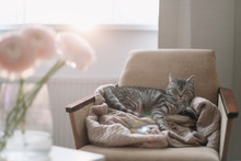 Home Kitten Cat Lying In The Chair. Cute Scottish Straight Cat Llying On Armchair, Indoors. Cat Portrait. Cat Indoor Shooting