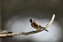 The European Goldfinch Sitting...