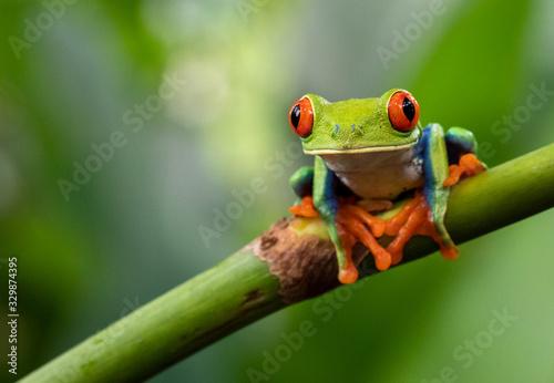 Photo green tree frog