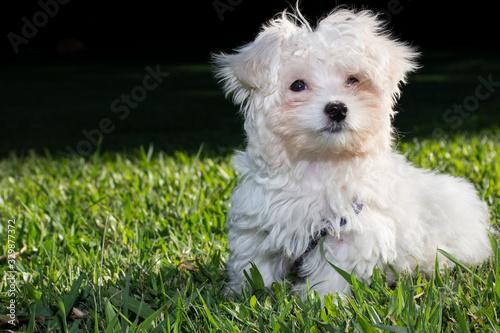 Foto Perro cachorro blanco