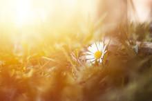 Daisy Closeup In Spring Park. ...