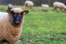 Portrait Of A Sheep With Ear T...
