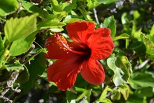 Close Up Of A Beautiful Hibisc...