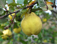 Quince Ripens On The Branch Of...