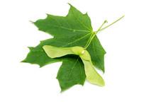 Green Maple Fruit Maple Leaf Isolated On White Background