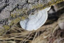 White Turkey Tail Mushroom On A Log With Lichens At Calvin R. Sutker Grove In Skokie, Illinois
