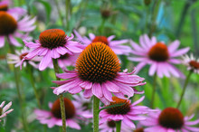Bloom In Nature Echinacea Purp...