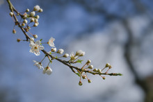 Blossoming Cherry Plum Tree (Prunus Cerasifera) With Small White Flowers In Spring Or Easter Time Against A Blue Sky, Copy Space