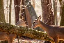 White-tailed Deer In The Spring Forest. Natural Scene From Wisconsin State Forest.