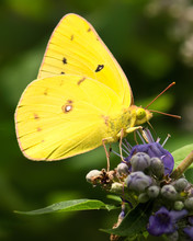 Closeup Of Bright Yellow Butterfly On Purple Flowers.