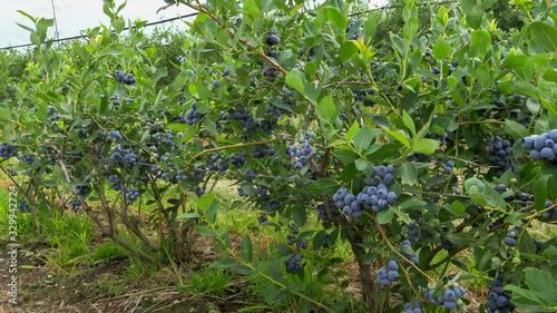 Fototapety, obrazy: fruiting blueberry bushes near bellingham, washington state