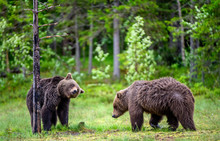 Brown Bears On The Swamp In The Summer Forest. Scientific Name: Ursus Arctos. Natural Habitat.