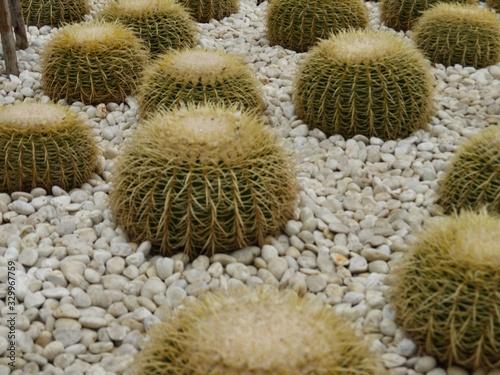 Golden barrel cactus or Echinocactus grusonii plant group in a tropical garden.