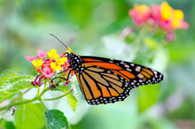 A Delicate Monarch Butterfly R...