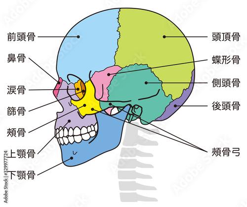 頭蓋骨 頭部の骨 名称 Canvas Print