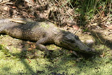 Big Crocodile In Alert Position