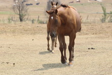 Horse Approaching On Farm, Curious About New Visitors