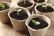 Young Seedlings In Peat Pots O...