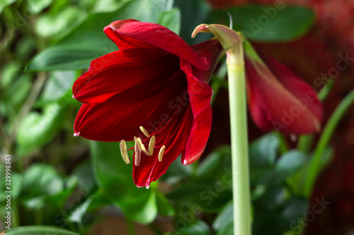 Red amaryllis flower on a green background Wallpaper Mural
