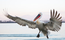 Dalmatian Pelican Of Kerkini L...