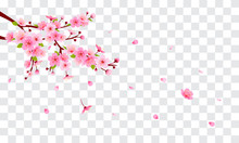 Spring Sakura Branch With Falling Petals Vector Illustration. Pink Cherry Blossom On Fake Transparent Background.