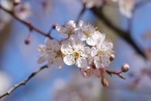 桜に似ている花、ベニ...