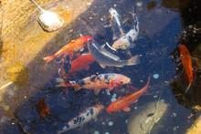 Ornamental Fish. Japanese Spot...
