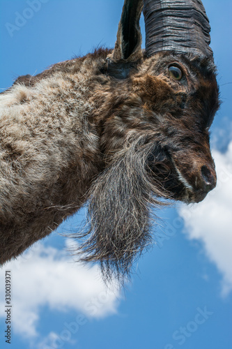 Wild  mountain goat with two huge horns Wallpaper Mural
