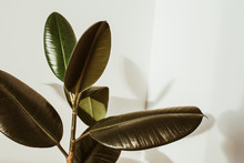Green Rubber Plant On White Background. Ficus Elastica Robusta.
