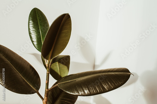 Obraz Green rubber plant on white background. Ficus elastica robusta. - fototapety do salonu