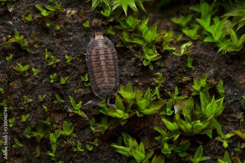 An Isopod in moss, India Canvas Print