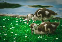 Siblings - Egyptian Goslings, ...