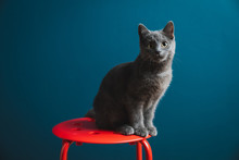 A Six Months Old Chartreux Gre...