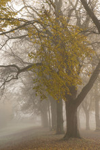 Avenue Of Trees In Mist