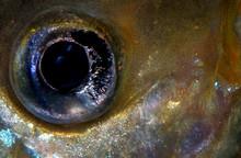 Closeup Of The Eye Of An Aquar...