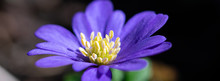 Flower Banner Macro.  Anemone Blanda, Grecian Windflower , Early Spring Purple Violet And Blue Soft Flower Petals And Textured Flower Centre Piece, Abstract Artistic Background With Selective Focus
