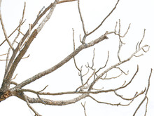 Beautiful Dry Twig Of Tree Isolated On White Background. Clipping Path.