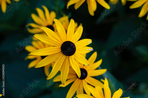 Black Eyed Susan flowers close up shot isolated against blurry green background Fototapet