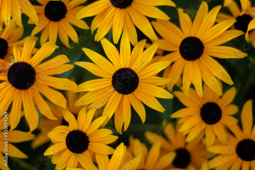 Black Eyed Susan flowers close up shot isolated against blurry green background Tablou Canvas